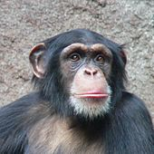 Chimpanzee-Head